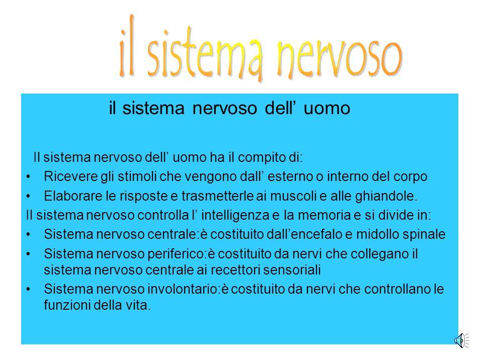 il sistema nervoso dell uomo Il sistema nervoso dell uomo ha il compito di: Ricevere gli stimoli che vengono dall esterno o interno del corpo Elaborare le risposte e trasmetterle ai muscoli e alle ghiandole.