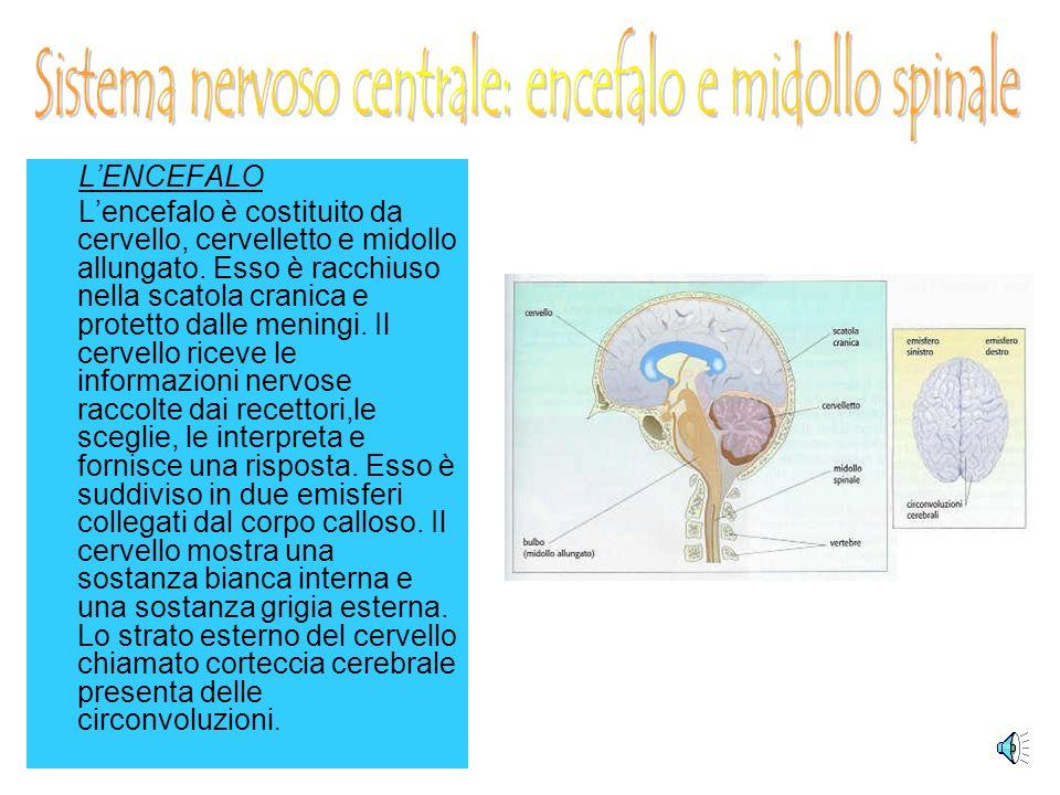 LENCEFALO Lencefalo è costituito da cervello, cervelletto e midollo allungato.