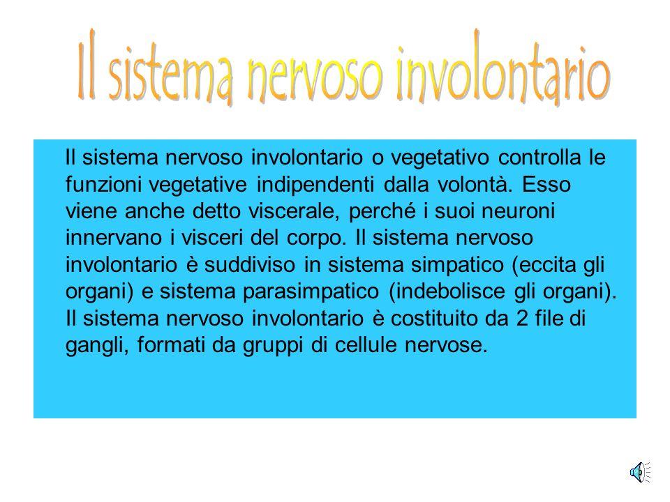 Il sistema nervoso involontario o vegetativo controlla le funzioni vegetative indipendenti dalla volontà.