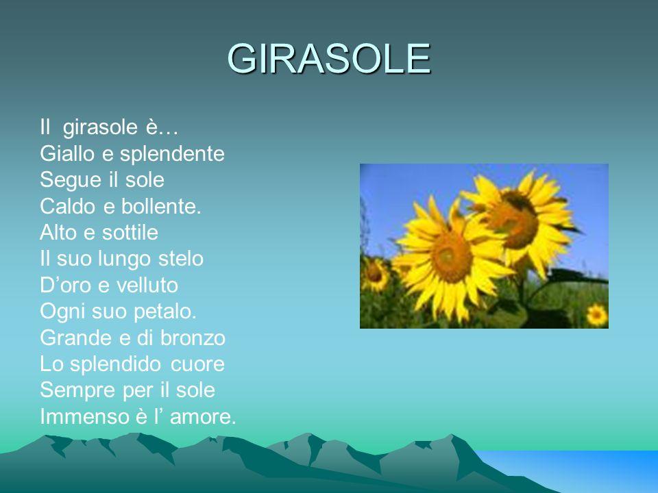 GIRASOLE Il girasole è… Giallo e splendente Segue il sole Caldo e bollente. Alto e sottile Il suo lungo stelo Doro e velluto Ogni suo petalo. Grande e