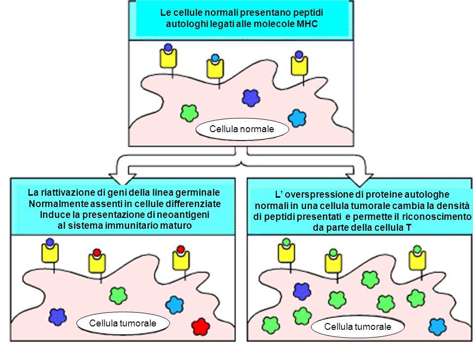 Le cellule normali presentano peptidi autologhi legati alle molecole MHC La riattivazione di geni della linea germinale Normalmente assenti in cellule