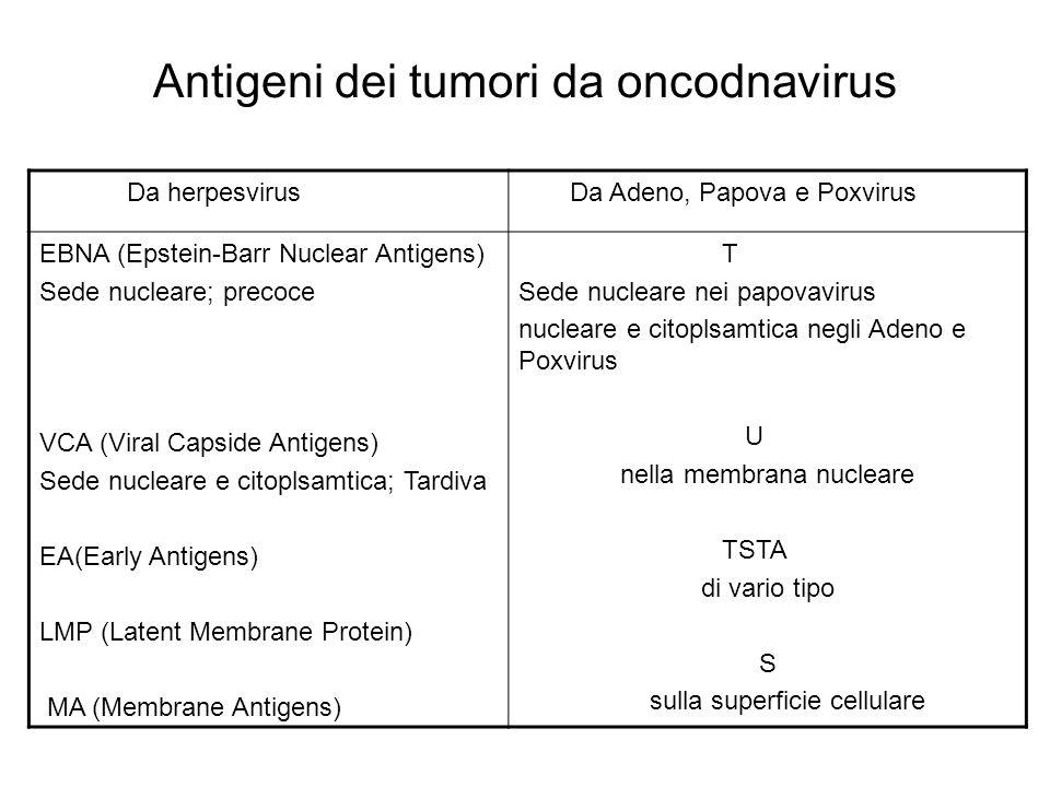 Antigeni dei tumori da oncodnavirus Da herpesvirus Da Adeno, Papova e Poxvirus EBNA (Epstein-Barr Nuclear Antigens) Sede nucleare; precoce VCA (Viral
