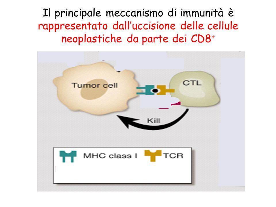 Il principale meccanismo di immunità è rappresentato dalluccisione delle cellule neoplastiche da parte dei CD8 +