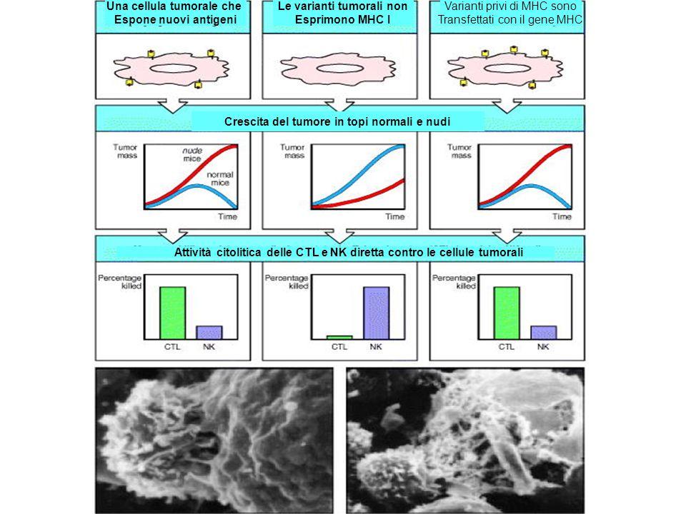 Una cellula tumorale che Espone nuovi antigeni Le varianti tumorali non Esprimono MHC I Varianti privi di MHC sono Transfettati con il gene MHC Cresci