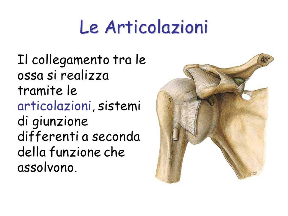 Il collegamento tra le ossa si realizza tramite le articolazioni, sistemi di giunzione differenti a seconda della funzione che assolvono. Le Articolaz