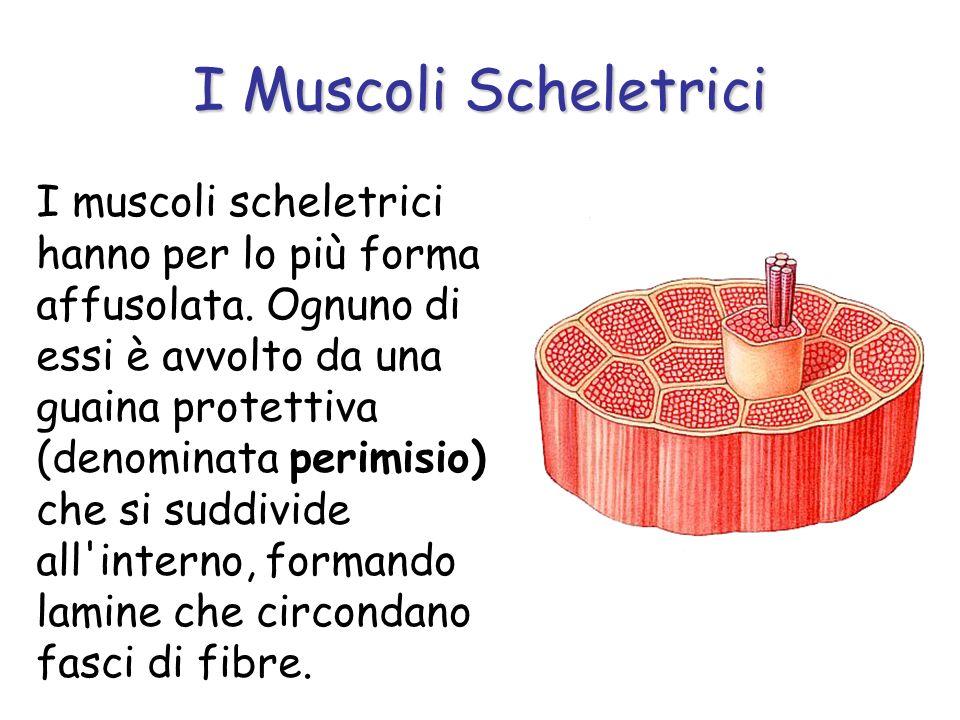 I muscoli scheletrici hanno per lo più forma affusolata. Ognuno di essi è avvolto da una guaina protettiva (denominata perimisio) che si suddivide all
