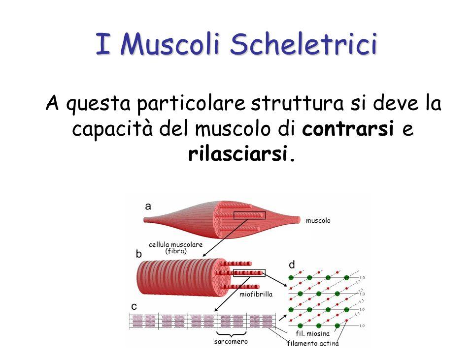 A questa particolare struttura si deve la capacità del muscolo di contrarsi e rilasciarsi. I Muscoli Scheletrici