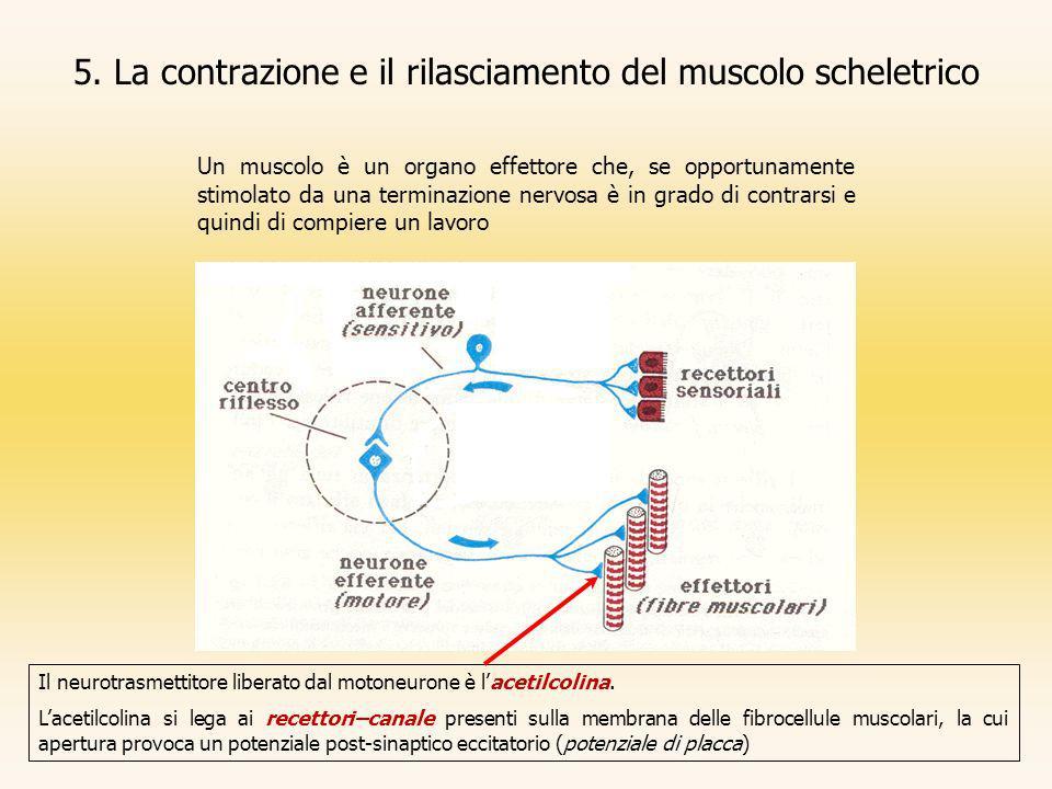 5. La contrazione e il rilasciamento del muscolo scheletrico Un muscolo è un organo effettore che, se opportunamente stimolato da una terminazione ner