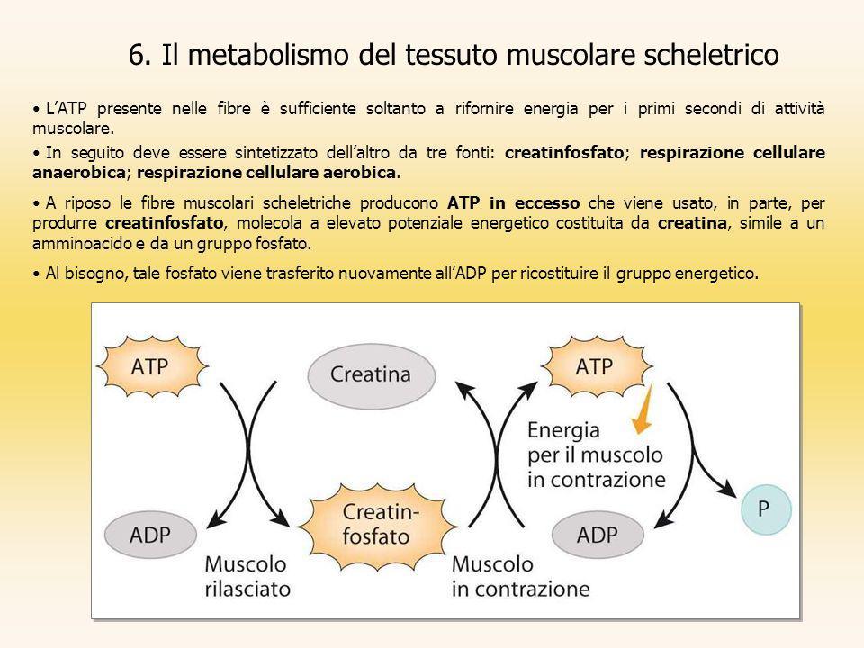 LATP presente nelle fibre è sufficiente soltanto a rifornire energia per i primi secondi di attività muscolare. In seguito deve essere sintetizzato de