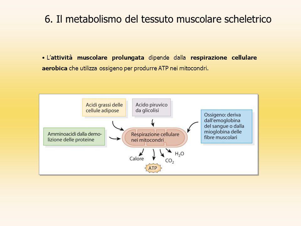6. Il metabolismo del tessuto muscolare scheletrico Lattività muscolare prolungata dipende dalla respirazione cellulare aerobica che utilizza ossigeno