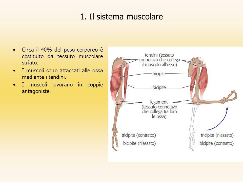 1. Il sistema muscolare Circa il 40% del peso corporeo è costituito da tessuto muscolare striato. I muscoli sono attaccati alle ossa mediante i tendin