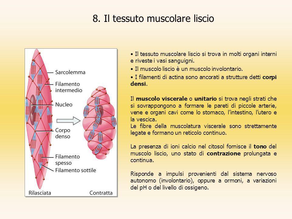 8. Il tessuto muscolare liscio Il tessuto muscolare liscio si trova in molti organi interni e riveste i vasi sanguigni. Il muscolo liscio è un muscolo