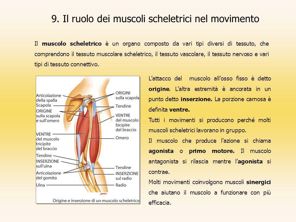 9. Il ruolo dei muscoli scheletrici nel movimento Il muscolo scheletrico è un organo composto da vari tipi diversi di tessuto, che comprendono il tess
