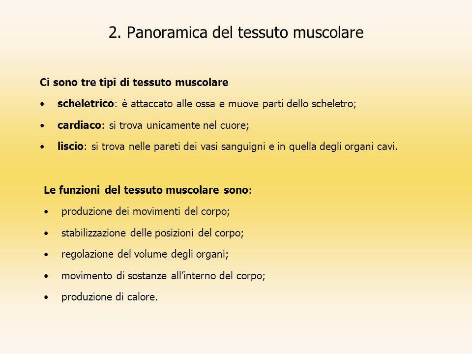 2. Panoramica del tessuto muscolare Ci sono tre tipi di tessuto muscolare scheletrico: è attaccato alle ossa e muove parti dello scheletro; cardiaco: