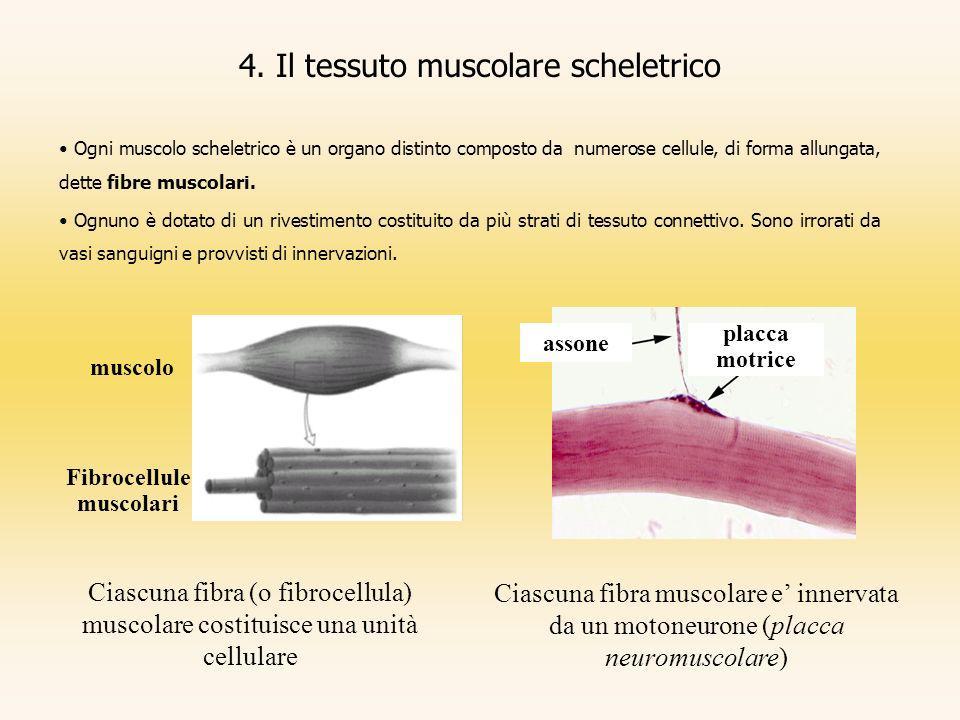4. Il tessuto muscolare scheletrico Ogni muscolo scheletrico è un organo distinto composto da numerose cellule, di forma allungata, dette fibre muscol