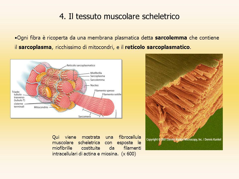 4. Il tessuto muscolare scheletrico Ogni fibra è ricoperta da una membrana plasmatica detta sarcolemma che contiene il sarcoplasma, ricchissimo di mit