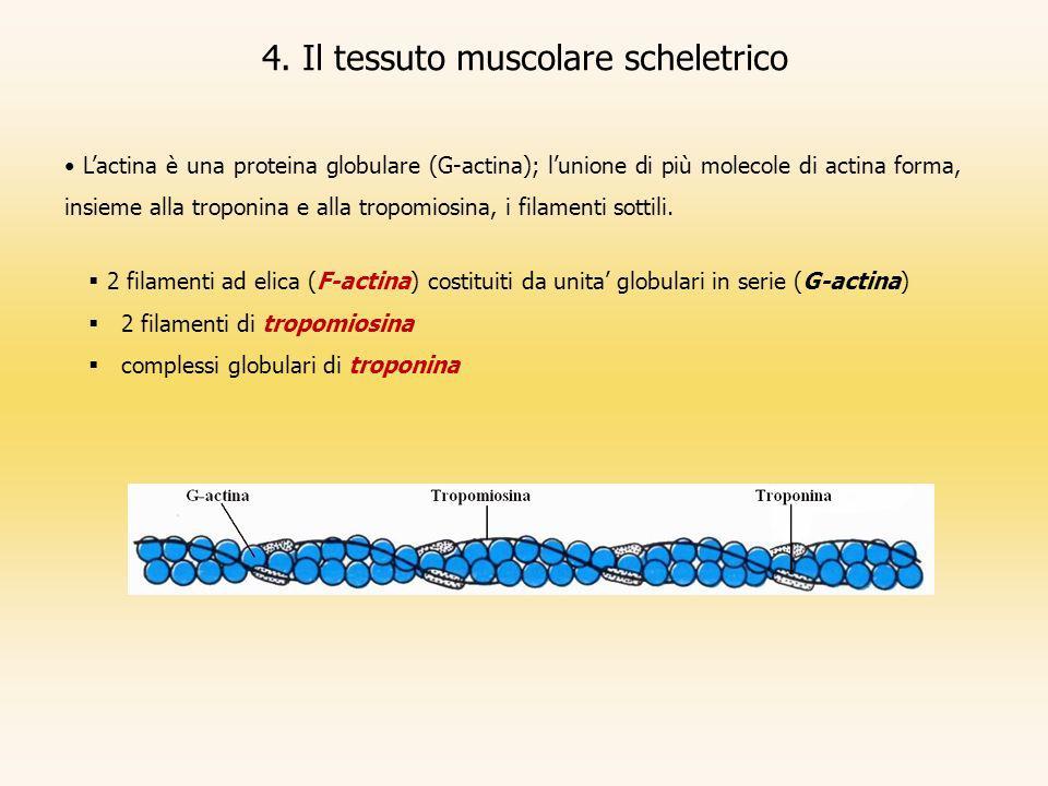 4. Il tessuto muscolare scheletrico Lactina è una proteina globulare (G-actina); lunione di più molecole di actina forma, insieme alla troponina e all