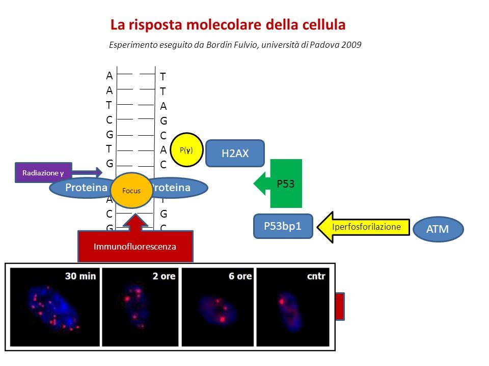 AATCGTGAATCGTG TTAGCACTTAGCAC CACGATTCACGATT GTGCTAAGTGCTAA Radiazione γ H2AX P(γ) Proteina Focus P53 P53bp1 ATM Iperfosforilazione Anticorpi legati a