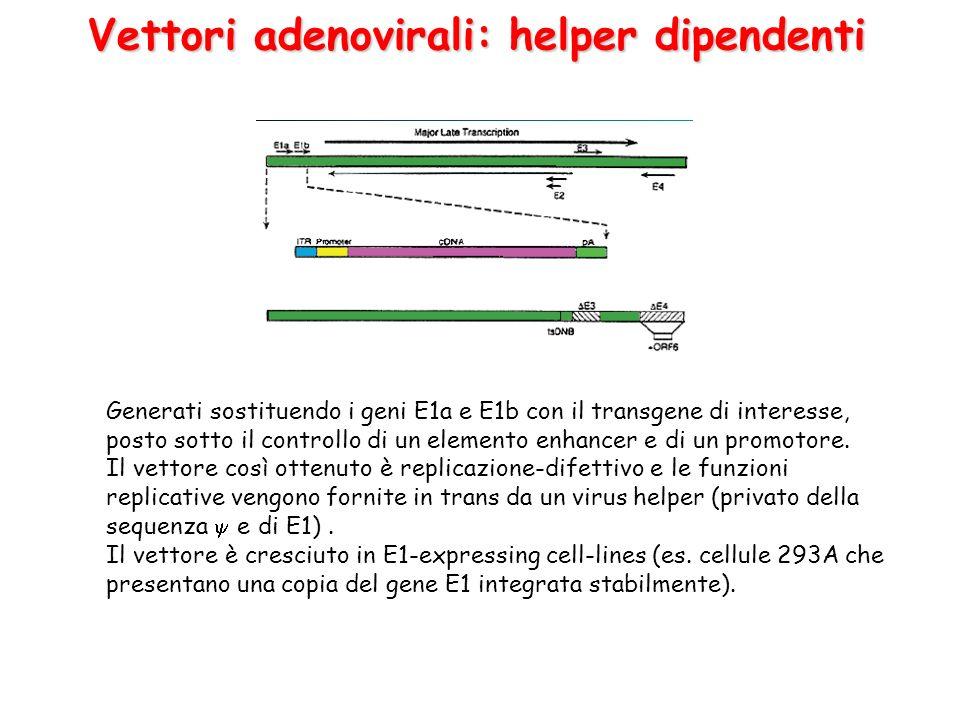 Generati sostituendo i geni E1a e E1b con il transgene di interesse, posto sotto il controllo di un elemento enhancer e di un promotore. Il vettore co