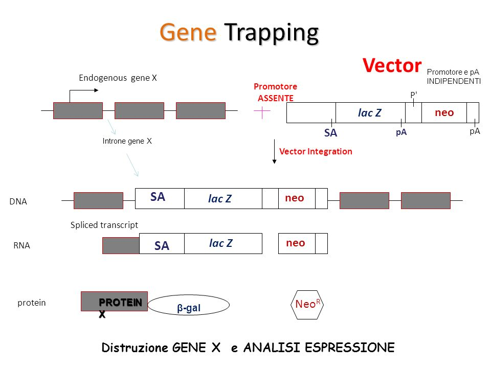 SA Endogenous gene X SA pA P' pA Vector Integration DNA RNA protein Spliced transcript β-gal Neo R Gene Trapping SA PROTEIN X Vector lac Z neo lac Z n