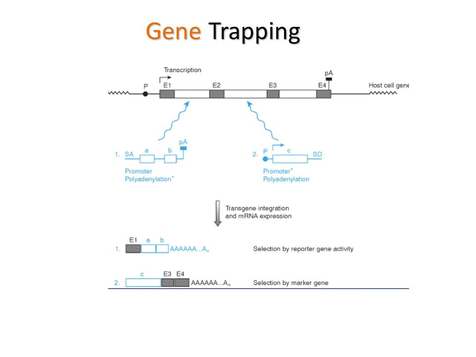 Gene Trapping