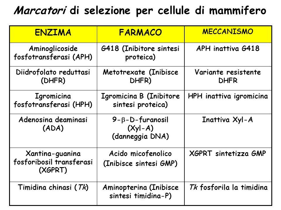 Marcatori di selezione per cellule di mammifero Tk fosforila la timidinaAminopterina (Inibisce sintesi timidina-P) Timidina chinasi (Tk) XGPRT sinteti