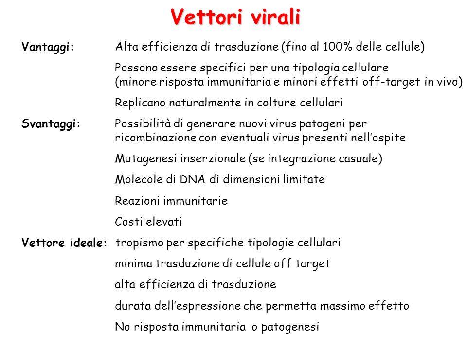 Virus adeno-associati Per la costruzione di vettori virali vengono deleti geni Rep e Cap (necessari per replicazione DNA e assemblaggio capside) per creare spazio allinserto di DNA esogeno.