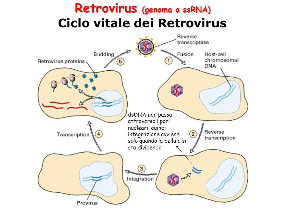 Ciclo vitale dei Retrovirus Retrovirus (genoma a ssRNA) dsDNA non passa attraverso i pori nucleari, quindi integrazione avviene solo quando la cellula