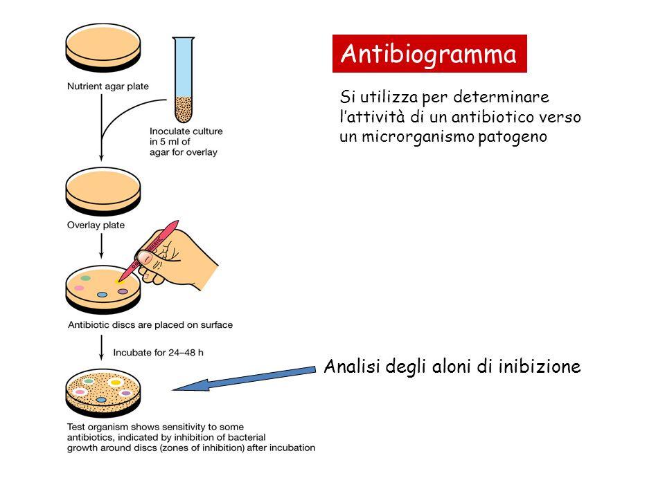 Si utilizza per determinare lattività di un antibiotico verso un microrganismo patogeno Analisi degli aloni di inibizione Antibiogramma