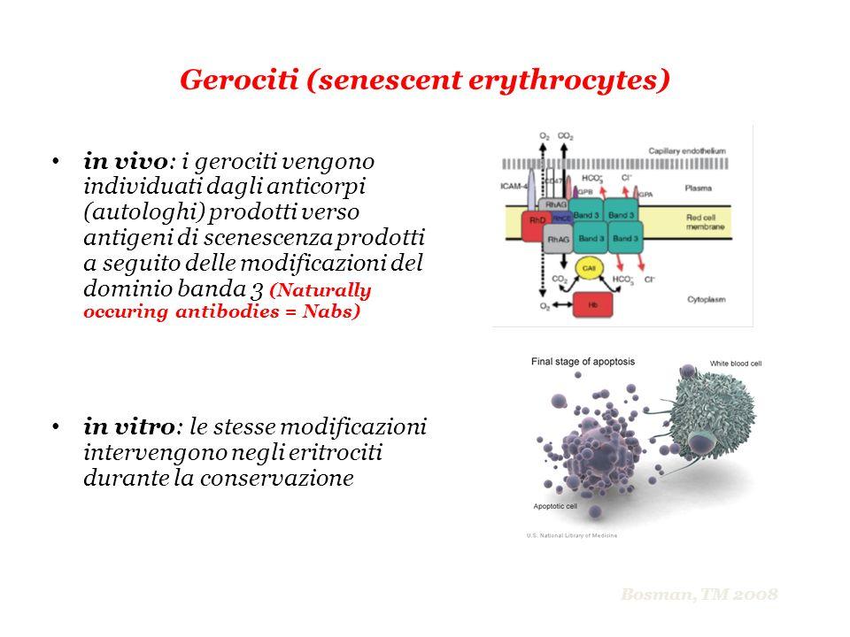 Gerociti (senescent erythrocytes) in vivo: i gerociti vengono individuati dagli anticorpi (autologhi) prodotti verso antigeni di scenescenza prodotti
