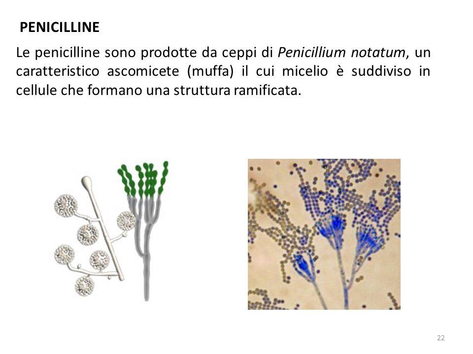 Le penicilline sono prodotte da ceppi di Penicillium notatum, un caratteristico ascomicete (muffa) il cui micelio è suddiviso in cellule che formano una struttura ramificata.
