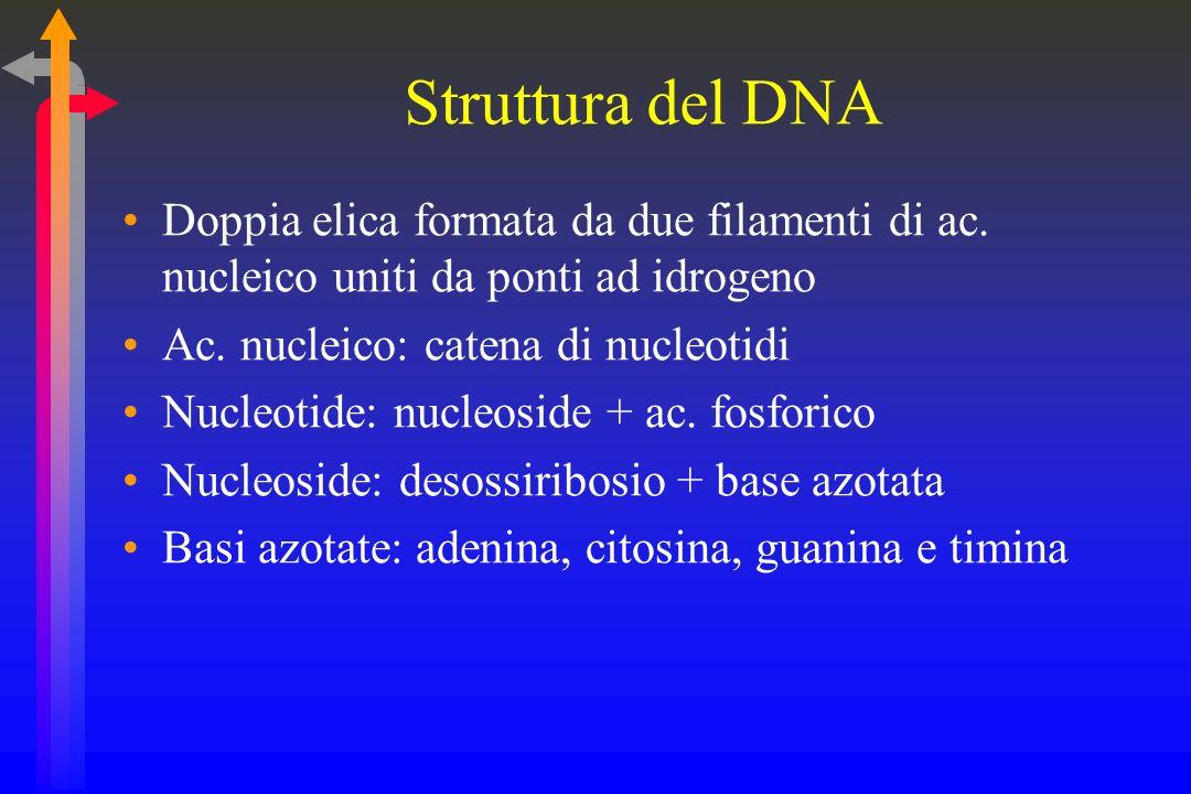 Struttura del DNA Doppia elica formata da due filamenti di ac.
