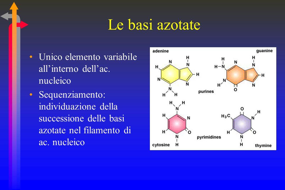 Le basi azotate Unico elemento variabile allinterno dellac.