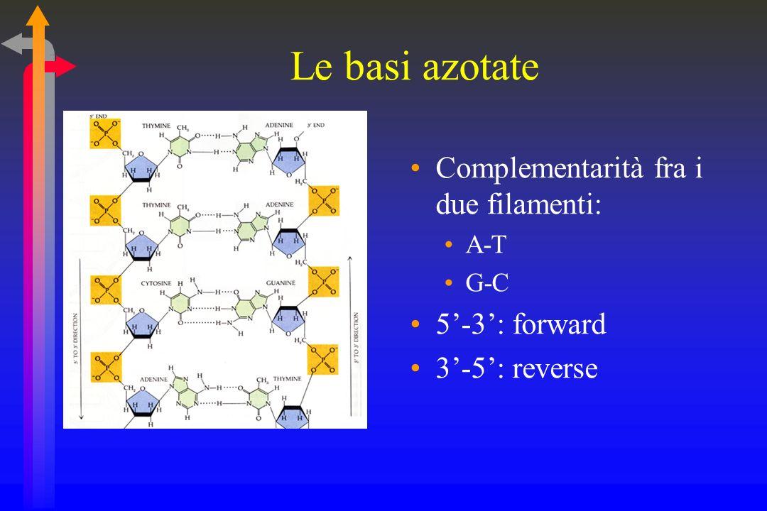 Le basi azotate Complementarità fra i due filamenti: A-T G-C 5-3: forward 3-5: reverse