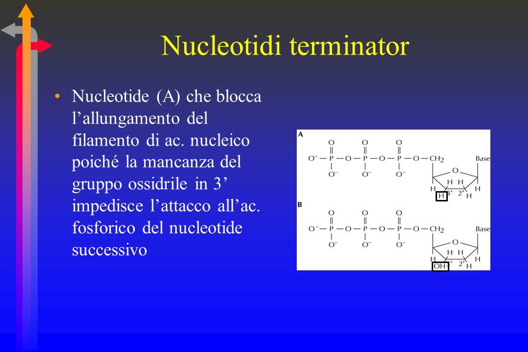 Nucleotide (A) che blocca lallungamento del filamento di ac.