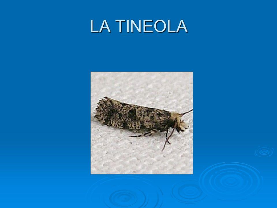 LA TINEOLA