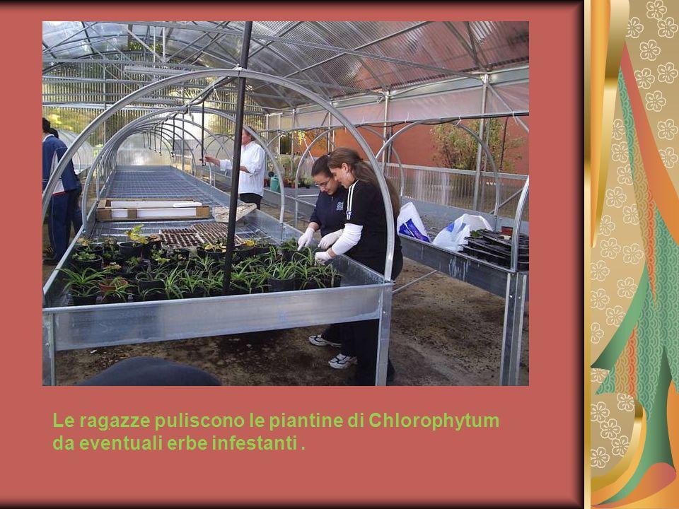 Le ragazze puliscono le piantine di Chlorophytum da eventuali erbe infestanti..