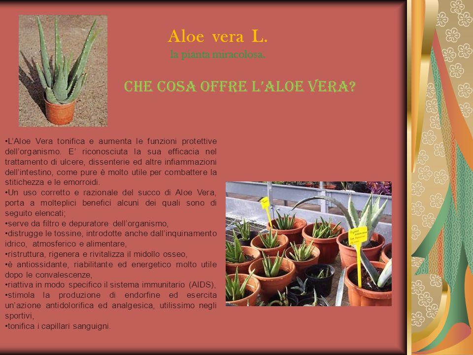 LAloe Vera tonifica e aumenta le funzioni protettive dellorganismo. E riconosciuta la sua efficacia nel trattamento di ulcere, dissenterie ed altre in