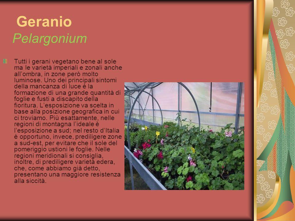 Geranio Pelargonium Tutti i gerani vegetano bene al sole ma le varietà imperiali e zonali anche allombra, in zone però molto luminose. Uno dei princip