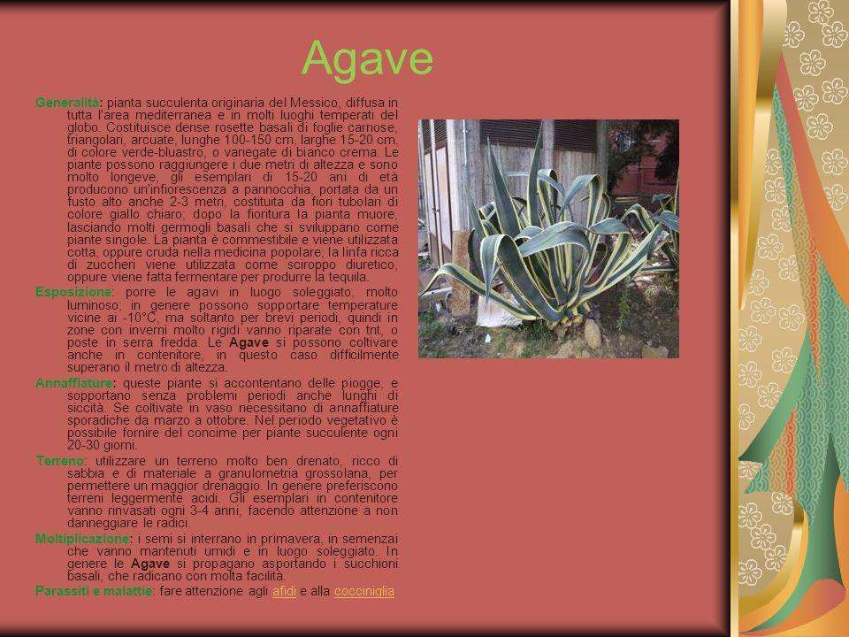 Agave Generalità: pianta succulenta originaria del Messico, diffusa in tutta l'area mediterranea e in molti luoghi temperati del globo. Costituisce de