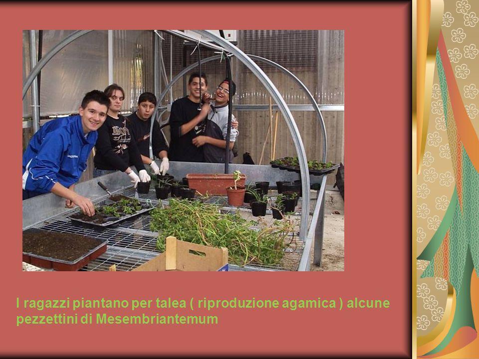 Oltre ai semplici vasi, gli alunni hanno realizzato artigianalmente dei cassettoni di legno per seminare a spaglio la Camomilla ( Matricaria chamomilla )