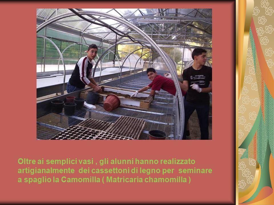Oltre ai semplici vasi, gli alunni hanno realizzato artigianalmente dei cassettoni di legno per seminare a spaglio la Camomilla ( Matricaria chamomill
