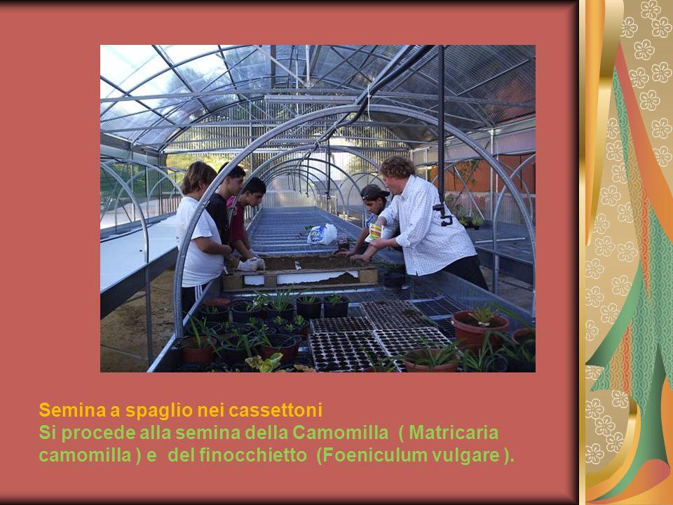 Geranio Pelargonium Tutti i gerani vegetano bene al sole ma le varietà imperiali e zonali anche allombra, in zone però molto luminose.