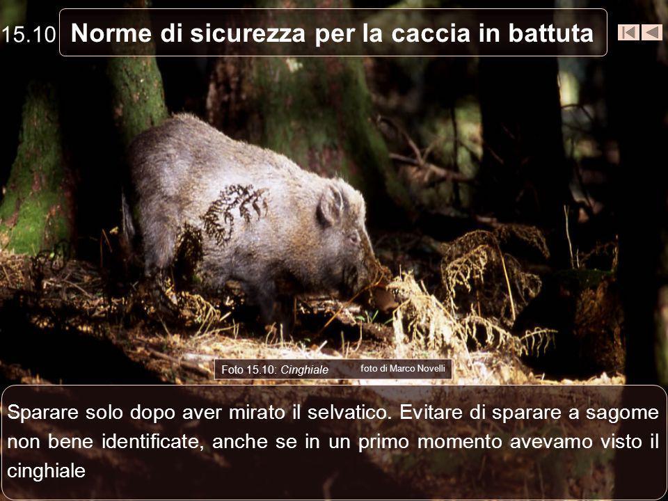 Norme di sicurezza per la caccia in battuta Foto 15.10: Cinghiale foto di Marco Novelli Sparare solo dopo aver mirato il selvatico. Evitare di sparare