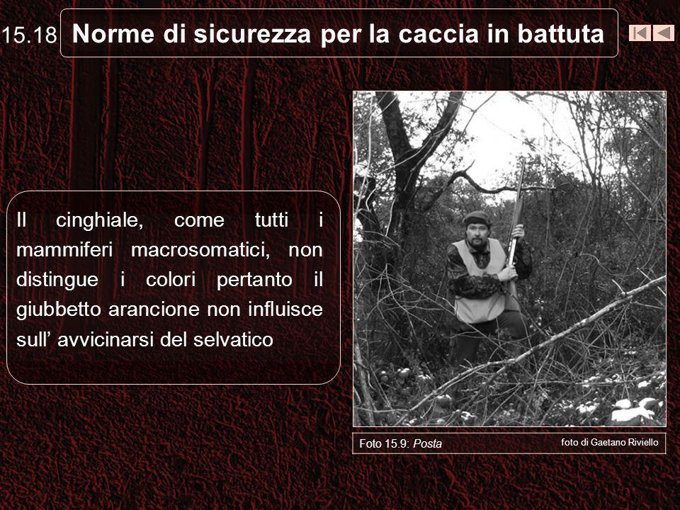 Norme di sicurezza per la caccia in battuta Foto 15.9: Posta foto di Gaetano Riviello Il cinghiale, come tutti i mammiferi macrosomatici, non distingu