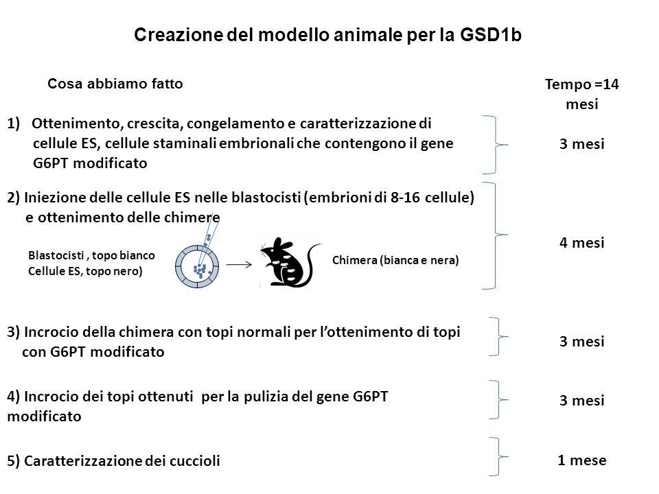 Creazione del modello animale per la GSD1b 1)Ottenimento, crescita, congelamento e caratterizzazione di cellule ES, cellule staminali embrionali che c