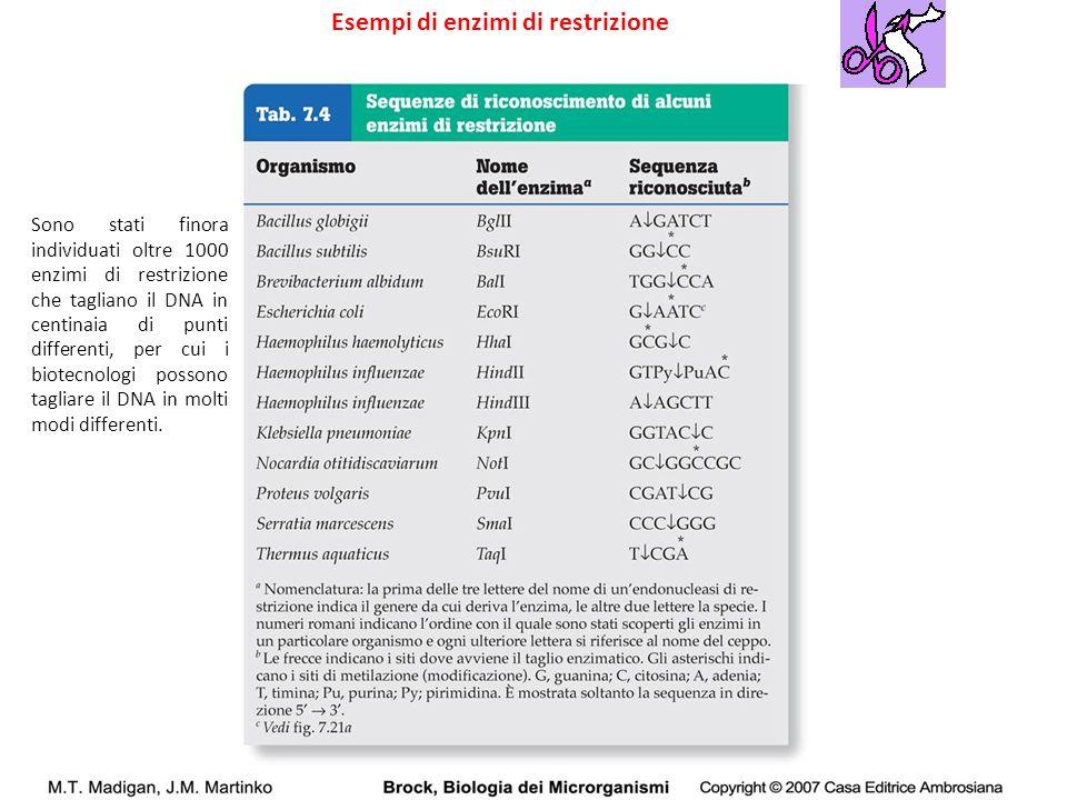Esempi di enzimi di restrizione Sono stati finora individuati oltre 1000 enzimi di restrizione che tagliano il DNA in centinaia di punti differenti, p