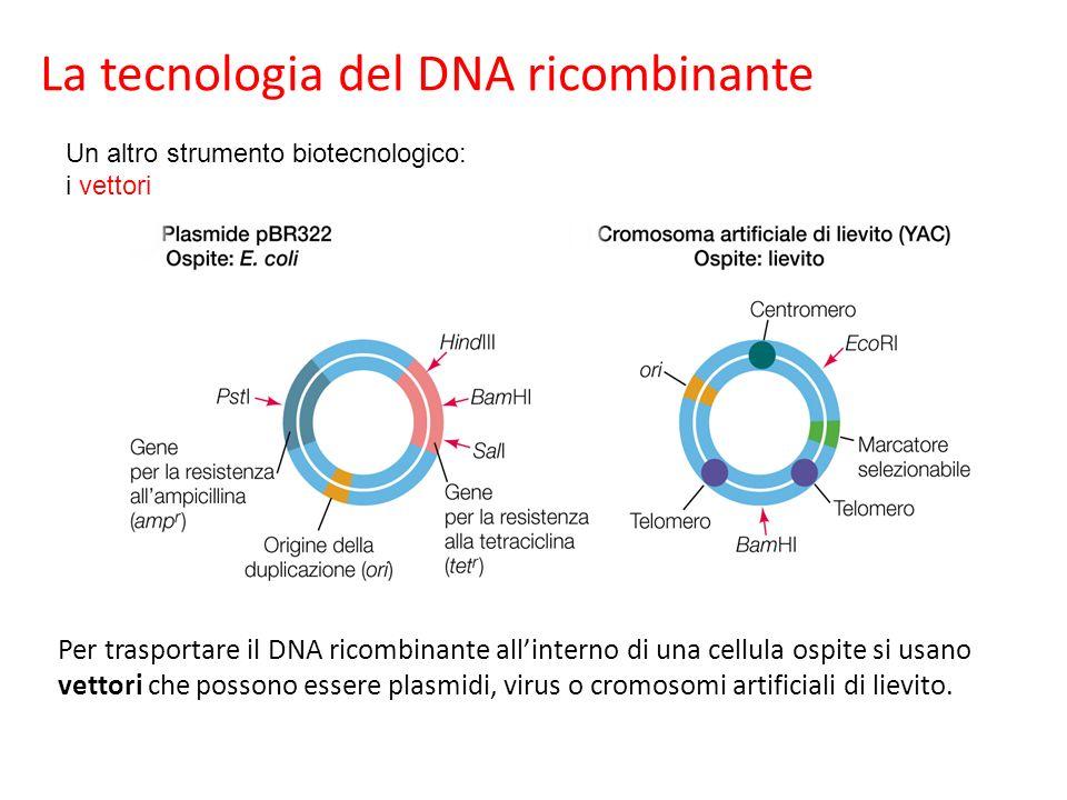 Per trasportare il DNA ricombinante allinterno di una cellula ospite si usano vettori che possono essere plasmidi, virus o cromosomi artificiali di li