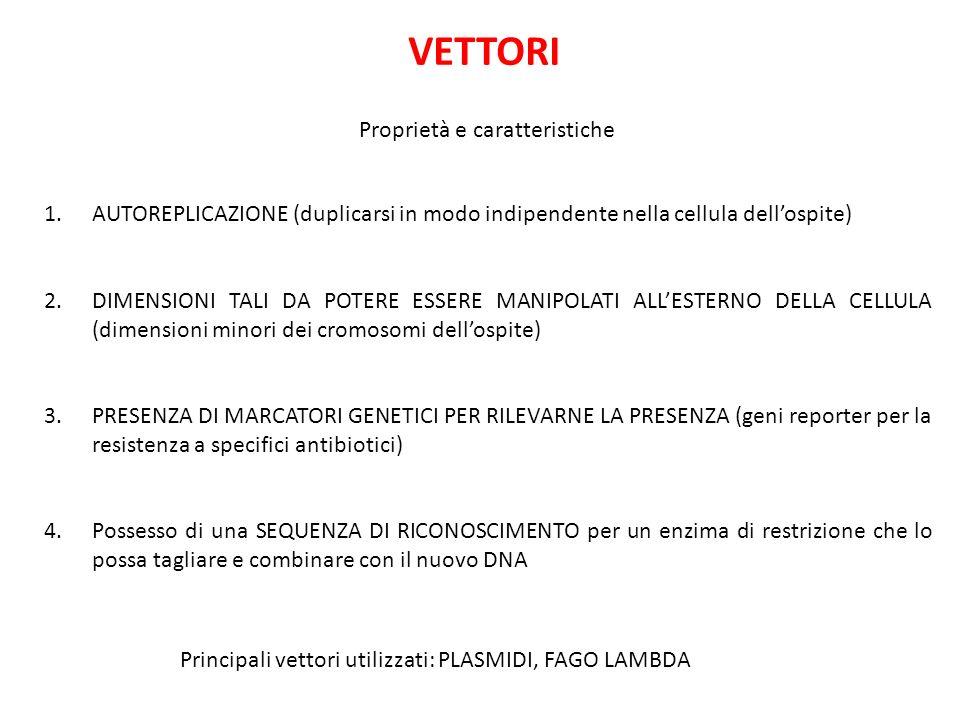 VETTORI Proprietà e caratteristiche 1.AUTOREPLICAZIONE (duplicarsi in modo indipendente nella cellula dellospite) 2.DIMENSIONI TALI DA POTERE ESSERE MANIPOLATI ALLESTERNO DELLA CELLULA (dimensioni minori dei cromosomi dellospite) 3.PRESENZA DI MARCATORI GENETICI PER RILEVARNE LA PRESENZA (geni reporter per la resistenza a specifici antibiotici) 4.Possesso di una SEQUENZA DI RICONOSCIMENTO per un enzima di restrizione che lo possa tagliare e combinare con il nuovo DNA Principali vettori utilizzati: PLASMIDI, FAGO LAMBDA