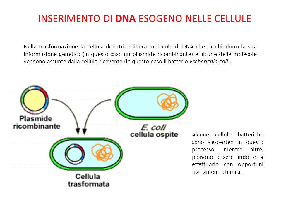 INSERIMENTO DI DNA ESOGENO NELLE CELLULE Nella trasformazione la cellula donatrice libera molecole di DNA che racchiudono la sua informazione genetica